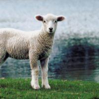 Американские ученые скрестили овцу с человеком