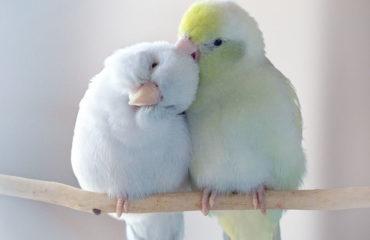 Фотограф из США делает трогательные фото влюбленных попугайчиков