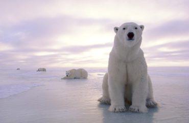Международный день полярного медведя: фото белых красавцев