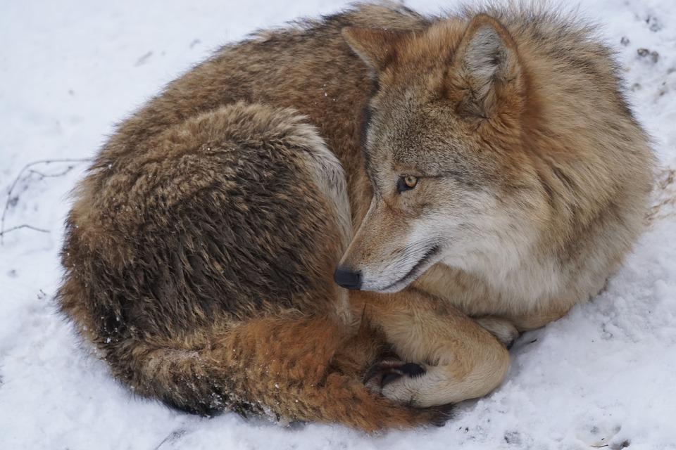 Раненый волк притворился мертвым и напал на охотника