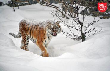 Как радуются снегу тигры в киевском зоопарке: забавные фото