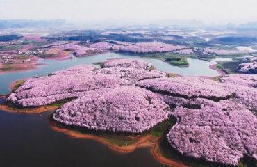 Розовое великолепие: в Китае зацвела сакура