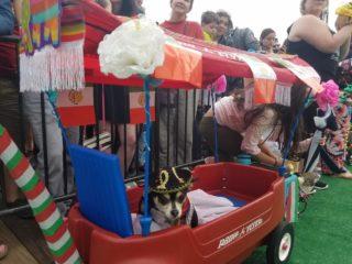 В Вашингтоне в честь Синко де Майя провели забег чихуахуа