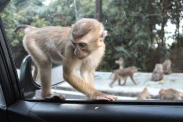 """В Таиланде """"выселяют"""" макак, чтобы не мешали туристам"""