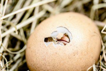 Курица или яйцо: ученые решили главную загадку тысячелетия