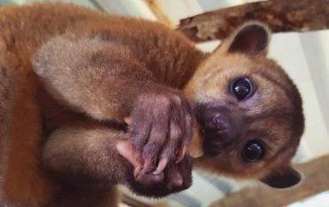 Крошка Майя: в киевском зоопарке родился очаровательный медвежонок