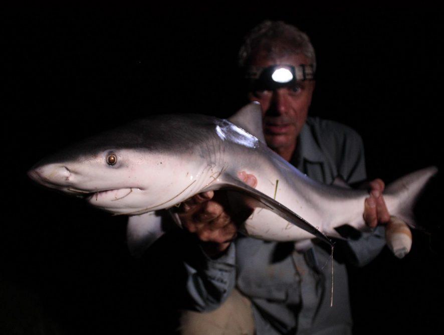 Акула-бык: что известно о рыбе хищной и агрессивной