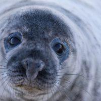 Необычный гость: к украинским полярникам заглянул 200-килограммовый  тюлень
