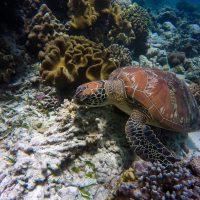 На Пхукет впервые за 20 лет вернулись редкие черепахи