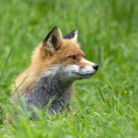 Лиса стащила у блогера телефон и сняла видео о дикой природе