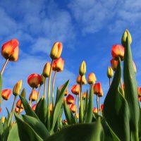 В Нидерландах для туристов сделали особое послание из тюльпанов
