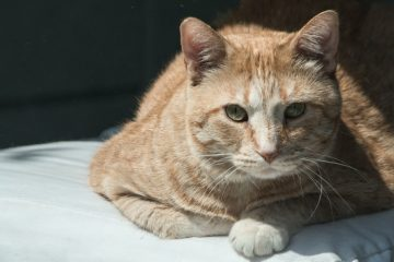 Рыжий кот Гарфилд прошел 64 километра, чтобы найти бывших хозяев