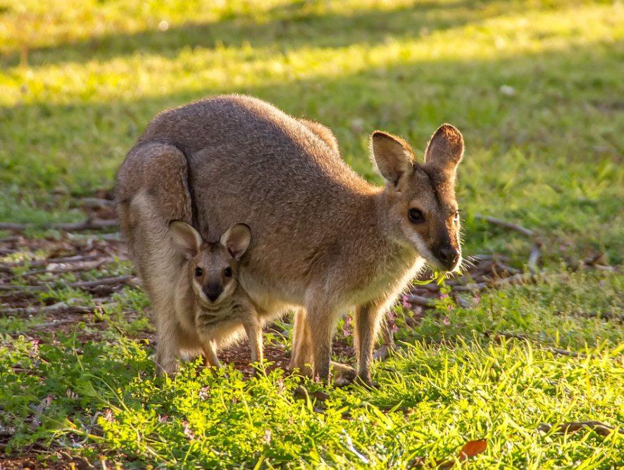 В Австралии кенгуру подрались под внезапным снегопадом