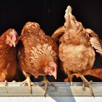 В Китае курица снесла яйцо необычного оттенка