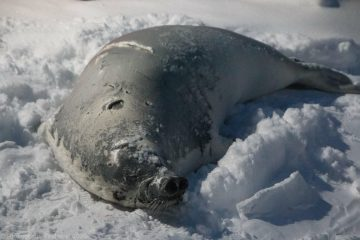 В  Антарктиде к украинским полярникам заглянул необычный гость