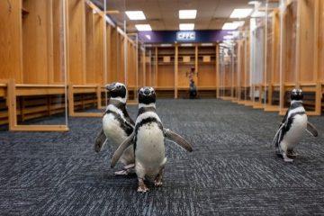 Пингвинов выпустили погулять на футбольный стадион