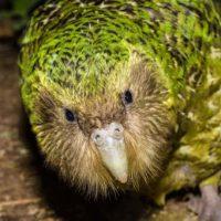 Толстый совиный попугай какапо стал птицей года в Новой Зеландии