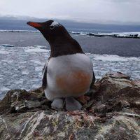 В Антарктиде на украинской станции родились первые пингвинята