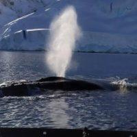 До українських полярників приплив знайомитися величезний кит