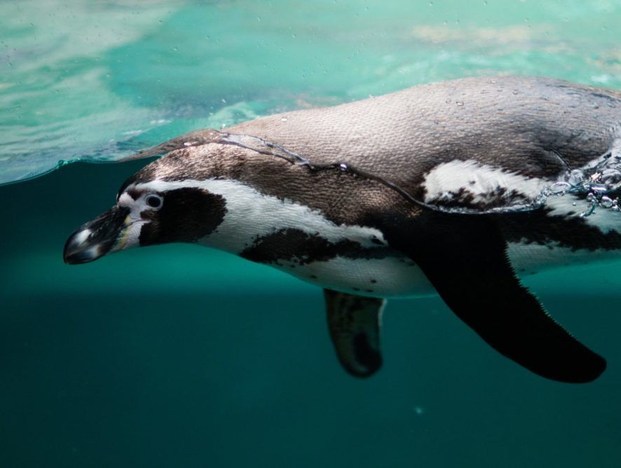 У Південній Африці бджоли вбили понад 60 рідкісних пінгвінів